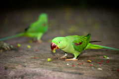 Beautiful male Alexandrine Parakeet Psittacula eupatria. The rose-ringed parakeet Psittacula krameri, also known as the ring-necked parakeet, is a gregarious Royalty Free Stock Image