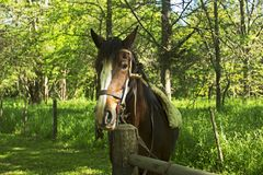 Big ears horse. Beautiful male Argentinian horse With a pair of big ears royalty free stock image