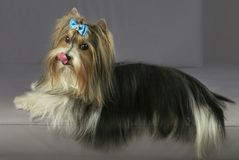 Beautiful male Beaver Yorkshire Terrier with bow. Beautiful male Beaver Yorkshire Terrier with a bow Stock Photos