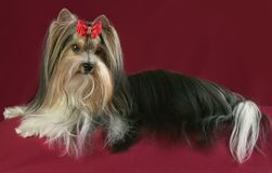 Beautiful male Beaver Yorkshire Terrier with bow. Beautiful male Beaver Yorkshire Terrier with a bow Royalty Free Stock Image