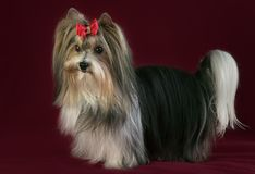 Beautiful male Beaver Yorkshire Terrier with bow. Beautiful male Beaver Yorkshire Terrier with a bow Stock Image