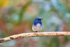 Beautiful male bird of  Hainan Blue Flycatcher (Cyornis concreta Royalty Free Stock Image