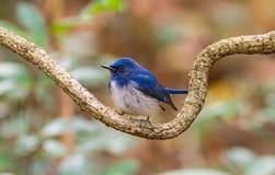 Beautiful male bird of  Hainan Blue Flycatcher (Cyornis concreta Stock Photography