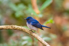 Beautiful male bird of  Hainan Blue Flycatcher (Cyornis concreta Stock Photos