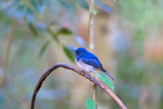 Beautiful male bird of Hainan Blue Flycatcher Cyornis concreta on branch Royalty Free Stock Photos