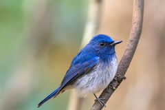 Beautiful male bird of Hainan Blue Flycatcher (Cyornis concreta) Royalty Free Stock Photo