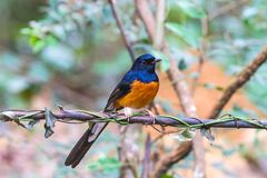 Beautiful male bird White Rumped Shama or Copsychus Malabaricus royalty free stock photo