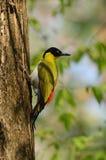 Male Black-headed Woodpecker stock photo
