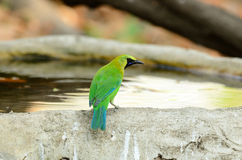 Male blue-winged leafbird Royalty Free Stock Images