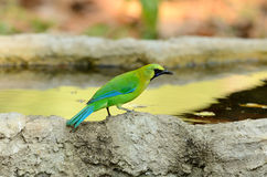 Male blue-winged leafbird Stock Photography