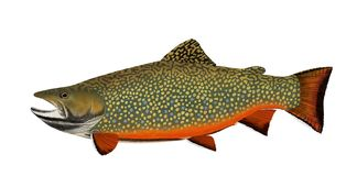 Brook Trout Isolated. A beautiful male Brook Trout in spawning colors isolated on a white background stock photos