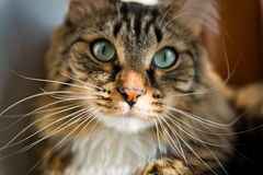 Cat looking at camera Stock Photography