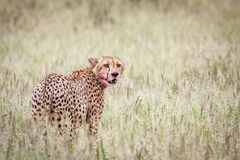 Beautiful male cheetah royalty free stock images