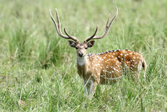 Beautiful male cheetal deer in the grassland Royalty Free Stock Images