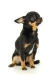 Beautiful male chihuahua dog. Sitting Royalty Free Stock Image