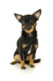 Beautiful male chihuahua dog sitting Stock Images