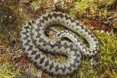 Beautiful male common european adder. Basking on moss  Vipera berus Stock Images
