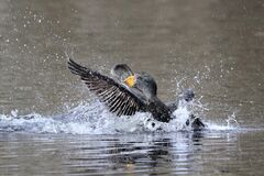 Beautiful male cormorant getting fish and swallow it down in no time