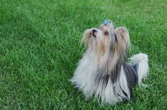 Beautiful male dog breed Beaver Yorkshire terrier with bow on a green lawn. Beautiful male dog breed Beaver Yorkshire terrier with a bow on a green lawn Stock Image