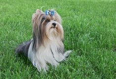 Beautiful male dog breed Beaver Yorkshire terrier with bow on a green lawn. Beautiful male dog breed Beaver Yorkshire terrier with a bow on a green lawn Royalty Free Stock Photography