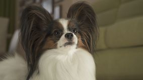 Beautiful male dog Papillon in living room. Beautiful male dog Papillon in the living room Stock Images