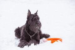 Black big dog Riesenschnauzer in the snow stock photos