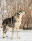 Beautiful male dog of Saarloos wolfhound in winter park. Beautiful male dog of Saarloos wolfhound in the winter park Stock Image