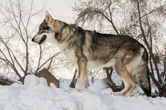 Beautiful male dog of Saarloos wolfhound in winter park Royalty Free Stock Photo