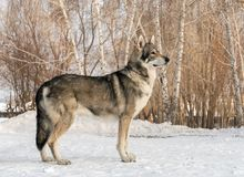 Beautiful male dog of Saarloos wolfhound in winter park. Beautiful male dog of Saarloos wolfhound in the winter park Royalty Free Stock Photo