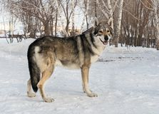 Beautiful male dog of Saarloos wolfhound in winter park Stock Images