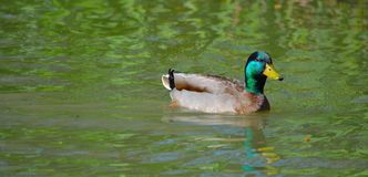 Beautiful male duck Royalty Free Stock Image