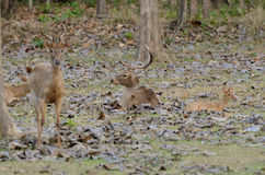 Eld's Deer (Cervus eldii) Stock Photos