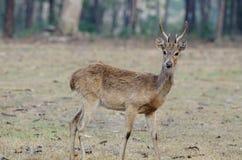 Eld's Deer (Cervus eldii) Stock Images