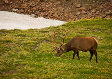 Elk Grazing on the Tundra. This beautiful male elk grazes on tender tundra vegetation in Rocky Mountain National Park Royalty Free Stock Image