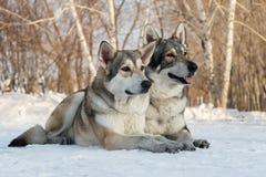 Beautiful male and female of Saarloos wolfhound in winter park. Beautiful male and female of Saarloos wolfhound in the winter park Stock Images