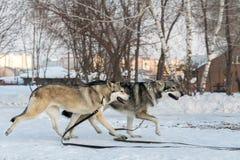 Beautiful male and female of Saarloos wolfhound in winter park. Beautiful male and female of Saarloos wolfhound in the winter park Stock Photography