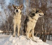 Beautiful male and female of Saarloos wolfhound in winter park. Beautiful male and female of Saarloos wolfhound in the winter park Royalty Free Stock Photography