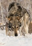 Beautiful male and female of Saarloos wolfhound in winter park Royalty Free Stock Photos