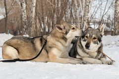 Beautiful male and female of Saarloos wolfhound in winter park Stock Photos