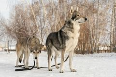 Beautiful male and female of Saarloos wolfhound in winter park Stock Photography