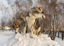 Beautiful male and female of Saarloos wolfhound in winter park. Beautiful male and female of Saarloos wolfhound in the winter park Royalty Free Stock Photos