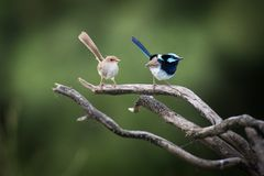 Beautiful male and female superb fairy wrens Stock Photos