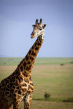 A beautiful male giraffe in foreground with savanna vista in background Stock Photography