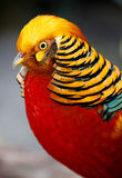 Beautiful Male Golden Pheasant Bird Stock Photography