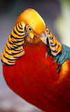 Beautiful Male Golden Pheasant Bird Stock Images