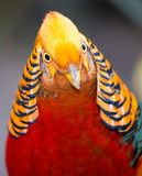 Beautiful Male Golden Pheasant Bird Royalty Free Stock Photography