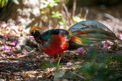 Beautiful male golden pheasant portrait Royalty Free Stock Photography