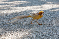 Beautiful male golden pheasant portrait Stock Photo