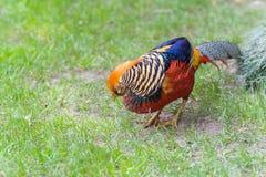 Beautiful male golden pheasant portrait Stock Images