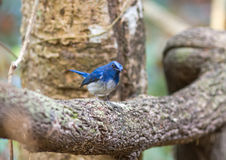 Beautiful male Hainan Blue Flycatcher (Cyornis concreta) on bran Royalty Free Stock Photo